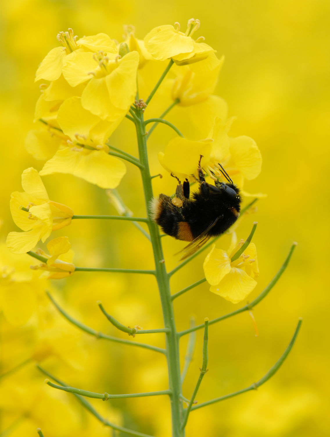 Bee on oilseed rape best practice to protect bees