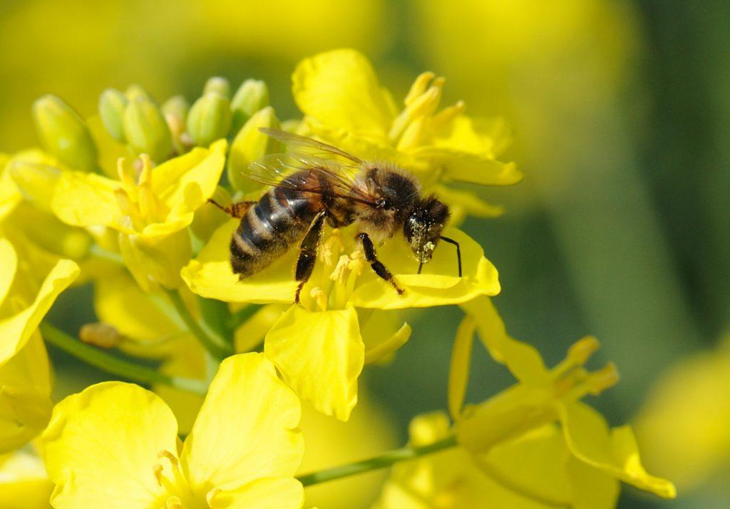 Honey bee on oilseed rape flower close up